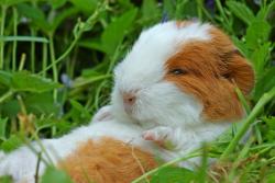 Vous Venez D Adopter Un Cochon D Inde Clinique Veterinaire Des Verpillers